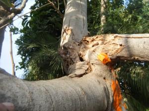 תמונה מוגדלת של הפגיעה בעץ